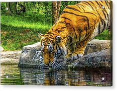Wet Whiskers Acrylic Print by Glenn Feron