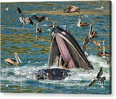 Whale Almost Eating A Pelican Acrylic Print