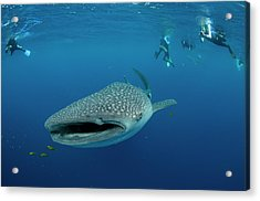 Whale Shark And People Acrylic Print