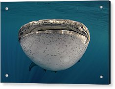 Whale Shark, Cenderawasih Bay, West Acrylic Print