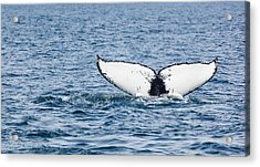 Whale Tail Stellwagen Bank Acrylic Print by Michelle Wiarda-Constantine