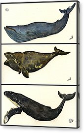 Whales Compilation 1 Acrylic Print