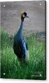 What A Looker Acrylic Print
