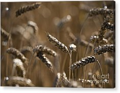 Wheat Acrylic Print by Anne Gilbert