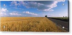Wheat Crop In A Field, North Dakota, Usa Acrylic Print