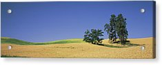 Wheat Crop In The Field, Washington Acrylic Print by Panoramic Images