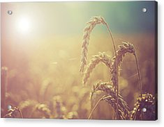 Wheat Growing In The Sunlight Acrylic Print
