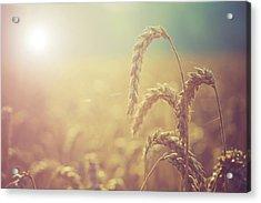 Wheat Growing In The Sunlight Acrylic Print by Wladimir Bulgar
