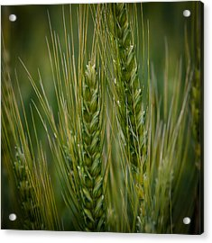 Wheat In The Palouse Acrylic Print by David Patterson