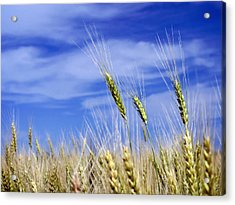 Acrylic Print featuring the photograph Wheat Trio by Keith Armstrong