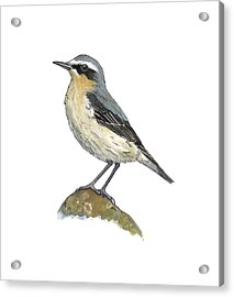 Wheatear, Artwork Acrylic Print by Science Photo Library