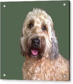Wheaton Terrier Acrylic Print