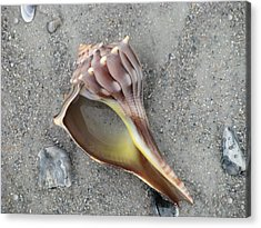 Whelk With Sand Acrylic Print by Ellen Meakin
