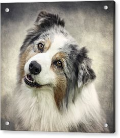 Australian Shepherd Portrait Acrylic Print