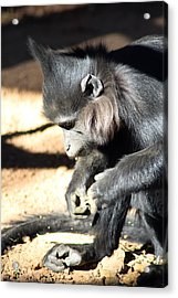 Where Is My Comb Acrylic Print by Dick Botkin