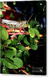 Grasshopper - Close Up Acrylic Print