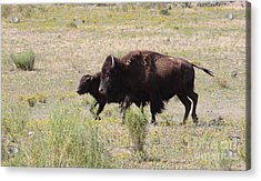 Where The Bison Roam Acrylic Print by Ruth Jolly