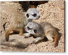 Which Way Now - Baby Meerkats Acrylic Print by Margaret Saheed