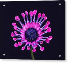 Whirligig Pink II Acrylic Print