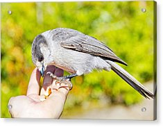 Whiskey Jack Or Gray Jay Eating Nuts From A Hand Acrylic Print