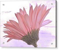 Whispy Daisy Acrylic Print by Marsha Heiken