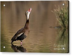 Whistling Duck Whistling Acrylic Print by Bryan Keil