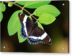 White Admiral Butterfly Acrylic Print by Christina Rollo