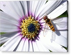 Acrylic Print featuring the photograph White African Daisy Marmalade Fly by Scott Lyons