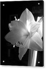 White Amaryllis  Acrylic Print by Patricia Greer