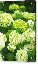 Acrylic Print featuring the photograph White And Green Hydrangea Flowers by Suzanne Powers