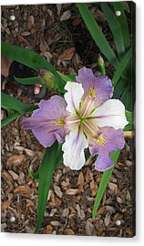 White And Lavender Iris Flower Acrylic Print by Tom Hefko