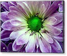 White And Purple Daisy Acrylic Print by Danielle  Parent