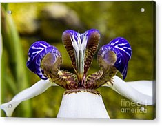 White And Purple Orchid Macro Acrylic Print by Darleen Stry