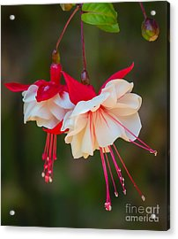 White And Red Fuchsia Acrylic Print