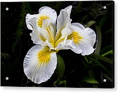 White And Yellow Bearded Iris Acrylic Print