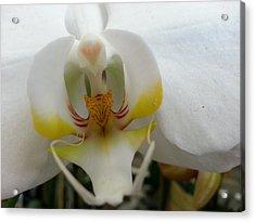 White And Yellow Orchid Acrylic Print