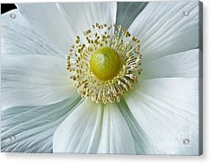 White Anemone 2012 Acrylic Print by Art Barker