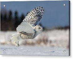 White Angel - Snowy Owl In Flight Acrylic Print by Mircea Costina Photography