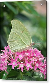 Acrylic Print featuring the photograph White Angled Sulphur by Judy Whitton