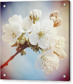 White Apple Blossom In Spring Acrylic Print