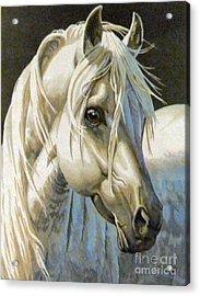 white Arabian Acrylic Print by Audrey Van Tassell
