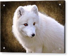 White Arctic Fox Acrylic Print