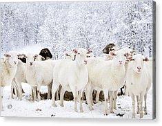 White As Snow Acrylic Print by Thomas R Fletcher