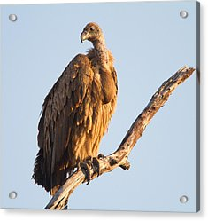 White Backed Vulture Acrylic Print by Craig Brown