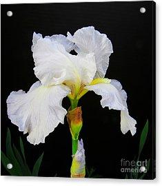 White Bearded Iris Acrylic Print