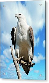 White-bellied Sea Eagle Acrylic Print