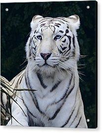 Blue Eyed White Bengal Tiger Acrylic Print by Daniel Hagerman