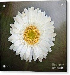 White Bergera Daisy 1 Acrylic Print