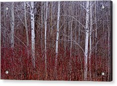 White Birch In The Adirondacks Acrylic Print by Karen Molenaar Terrell