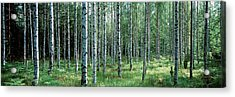 White Birches Aulanko National Park Acrylic Print by Panoramic Images